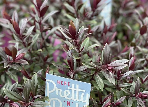 Hebe - Pretty'n' Pink 20cm pot
