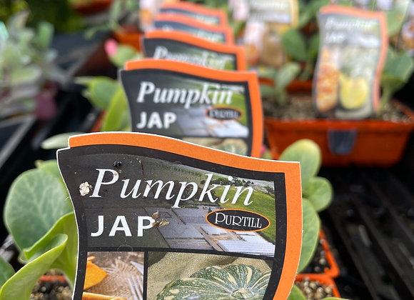 Pumpkin - JAP punnet