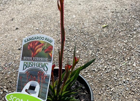 Kangaroo Paw Bush Surprise 200mm pot