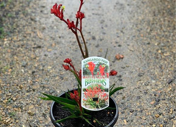 Kangaroo Paw - 14cm pot