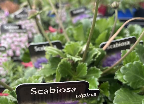Scabiosa - Alpina 100mm pot SEMI ADVANCED