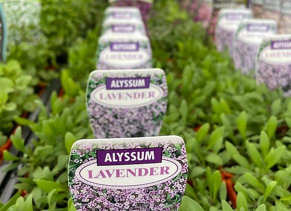 Alyssum -  Lavender