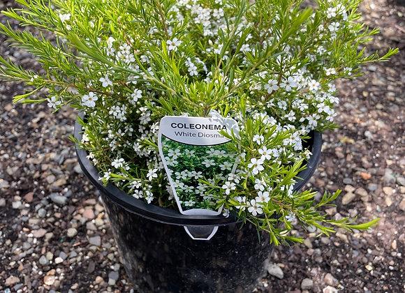 Diosma -White 200mm pot white flowers. Compact growth habit