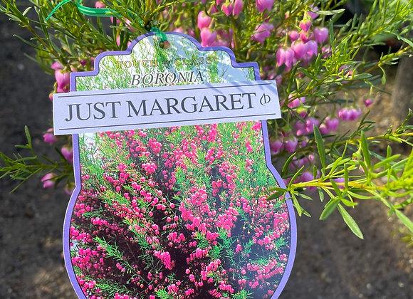 Boronia - Just Margaret 14cm pot