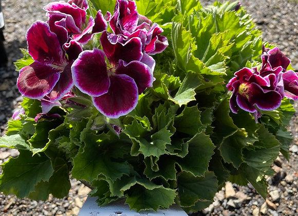 Pelargonium - Elegance Imperial 18cm pot