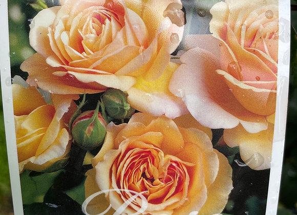Bush Rose  - CharlesAustin DAVID AUSTIN 20cm pot