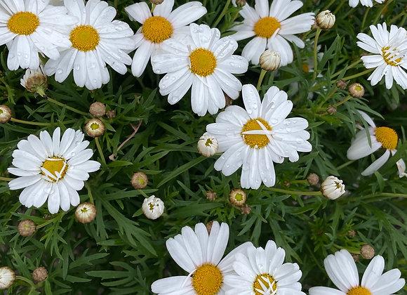 Argyranthemum - Summit White