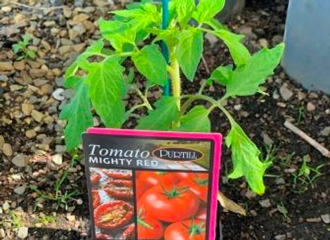 Tomato - Mighty Red ADVANCED