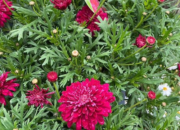 Argyranthemum - Pom Pom