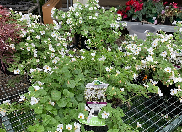 Sutera or Bacopa  white 20cm pot