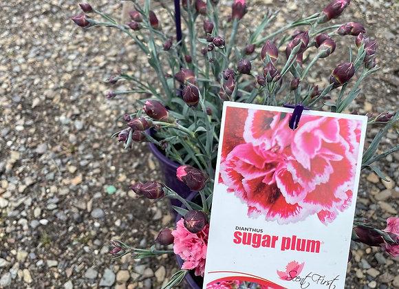 Dianthus - Sugar Plum 14cm pot PGA