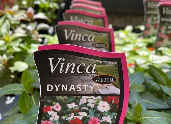 Vinca - Dynasty punnet