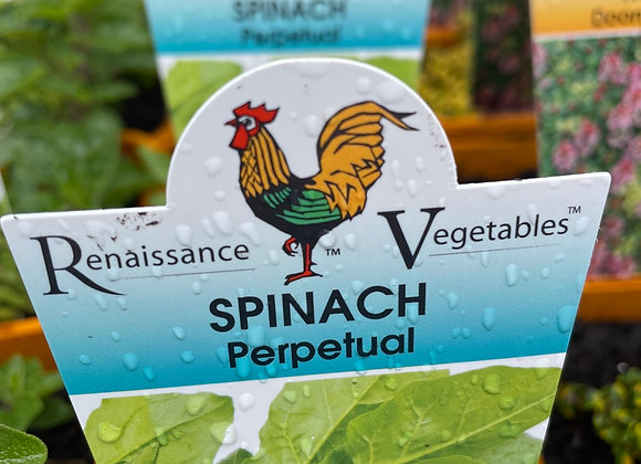 Spinach - Perpetual  SEMI ADVANCED 100mm pot