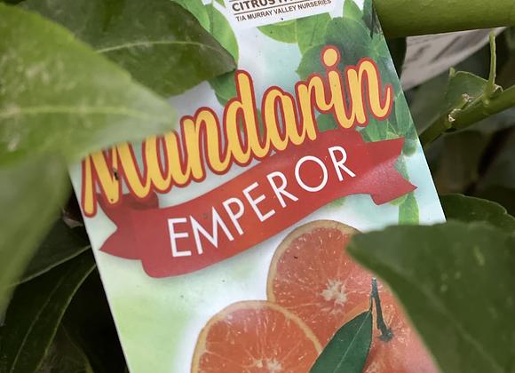 Mandarin -  Emperor