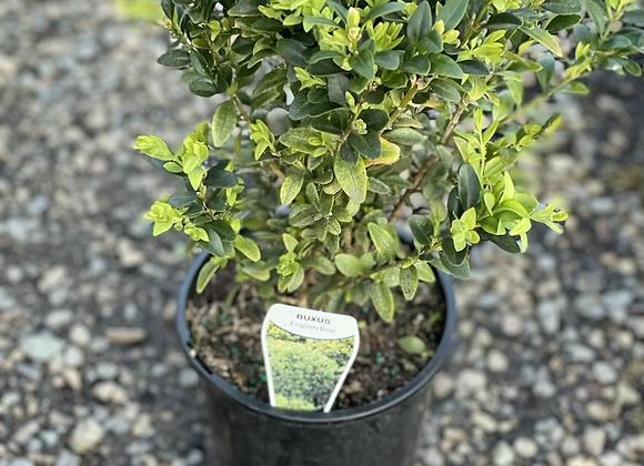 English Box 14cm pot perfect hedging plant