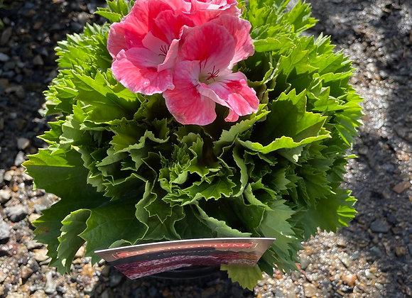 Pelargonium - Elegance Sunrise 18cm pot