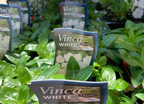 Vinca - White  punnet