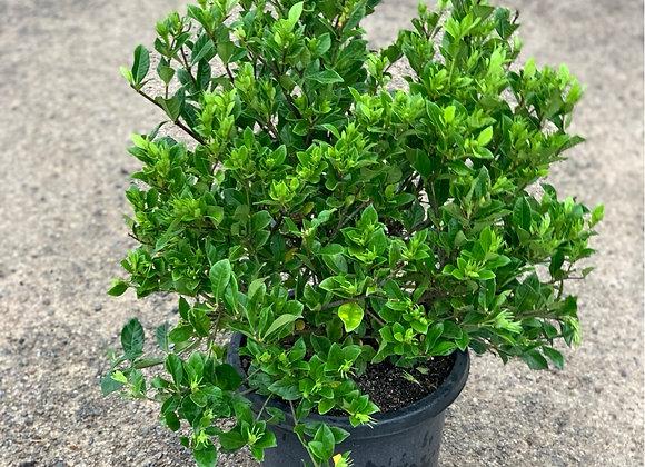 Gardenia Florida 30cm pot