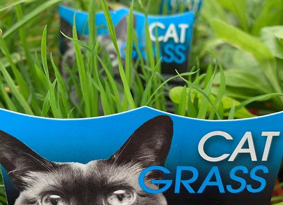 Cat Grass / Pet grass 100mm pot