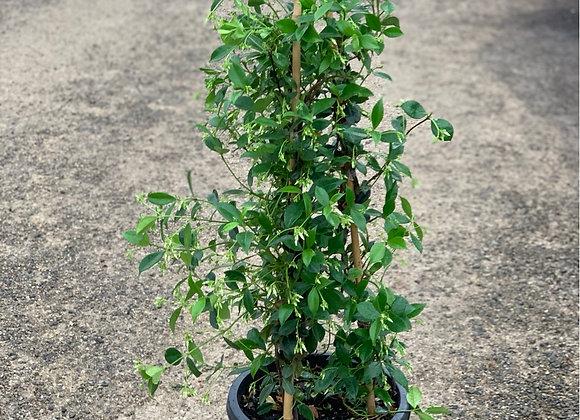 Star Jasmine 30cm pot Trachelospermum