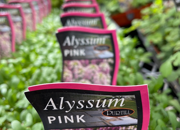 Alyssum -  Pink punnet