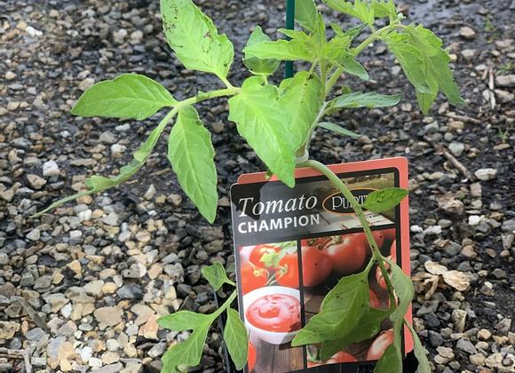 Tomato - Champion ADVANCED