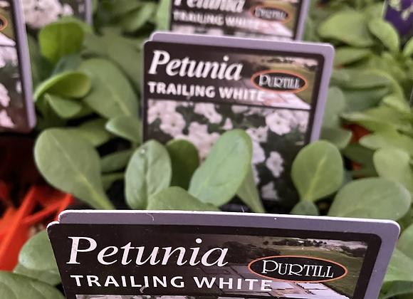 Petunia - Trailing White vigorous trailer 4 plants per punnet