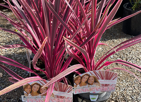 Cordyline - Pink Passion 125mm pot SPECIAL PRICE