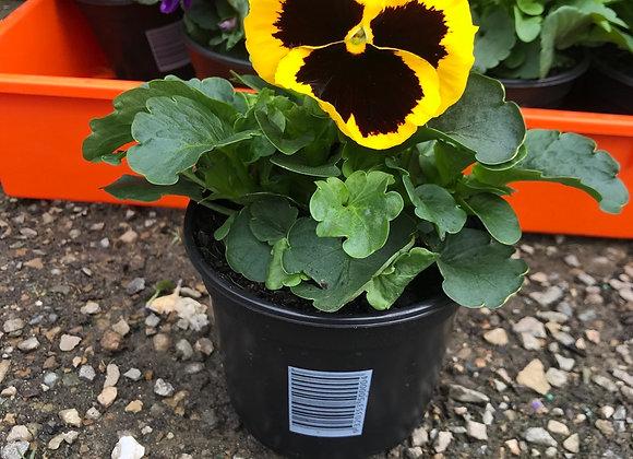 Pansies - Bloomer pots