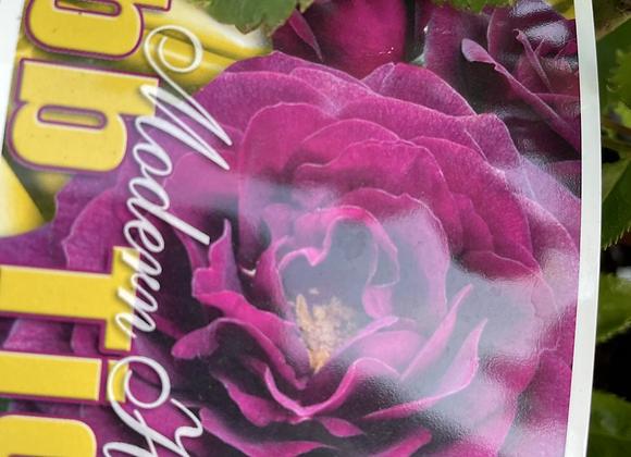 Bush Rose -  Ebb Tide 20cm pot