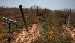 vineyardfog-2