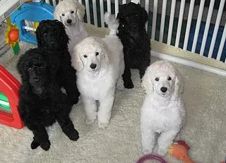 Puppy litter 10 weeks.JPG