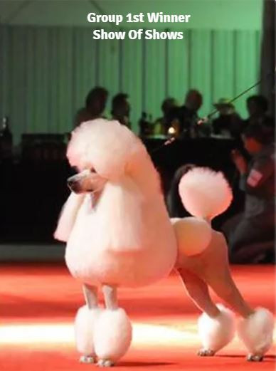 show poodle one.JPG
