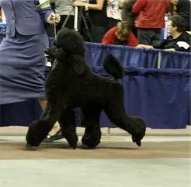Onyx the show dog