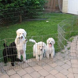 poodle puppies out sie playpen.JPG