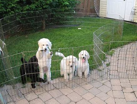 poodle puppies out sie playpen.JPG