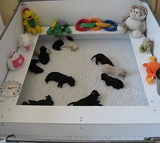 poodle puppies in the play pen.JPG