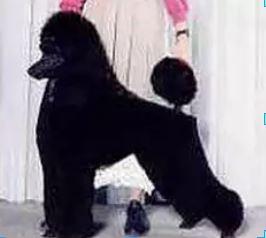 show dog 7-1.JPG