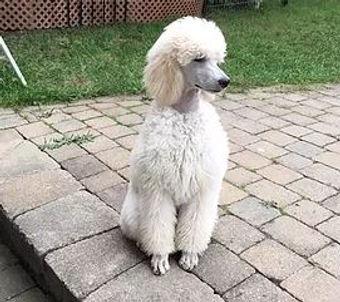 Noor as a Poodle puppy