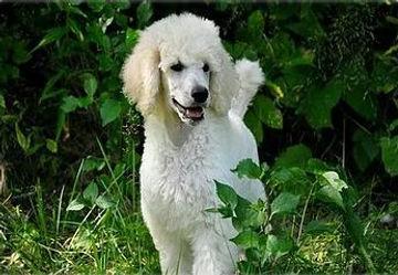 Demi the Poodle Puppy