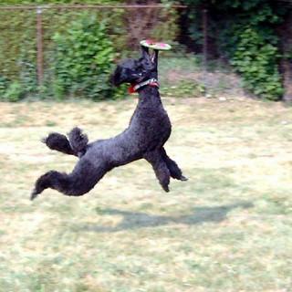 poodle catching frisbie.jpg