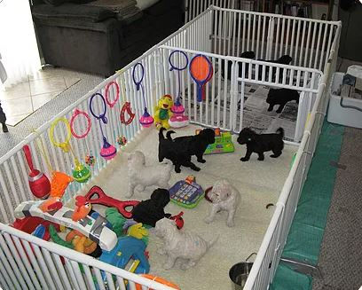 puppie poodle in there big playpen.JPG