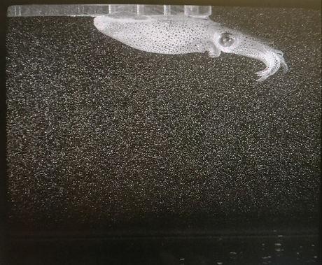 Brief squid illuminated by laser in PTV experiment