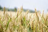 agriculture-arable-barley-blur-265216.jp