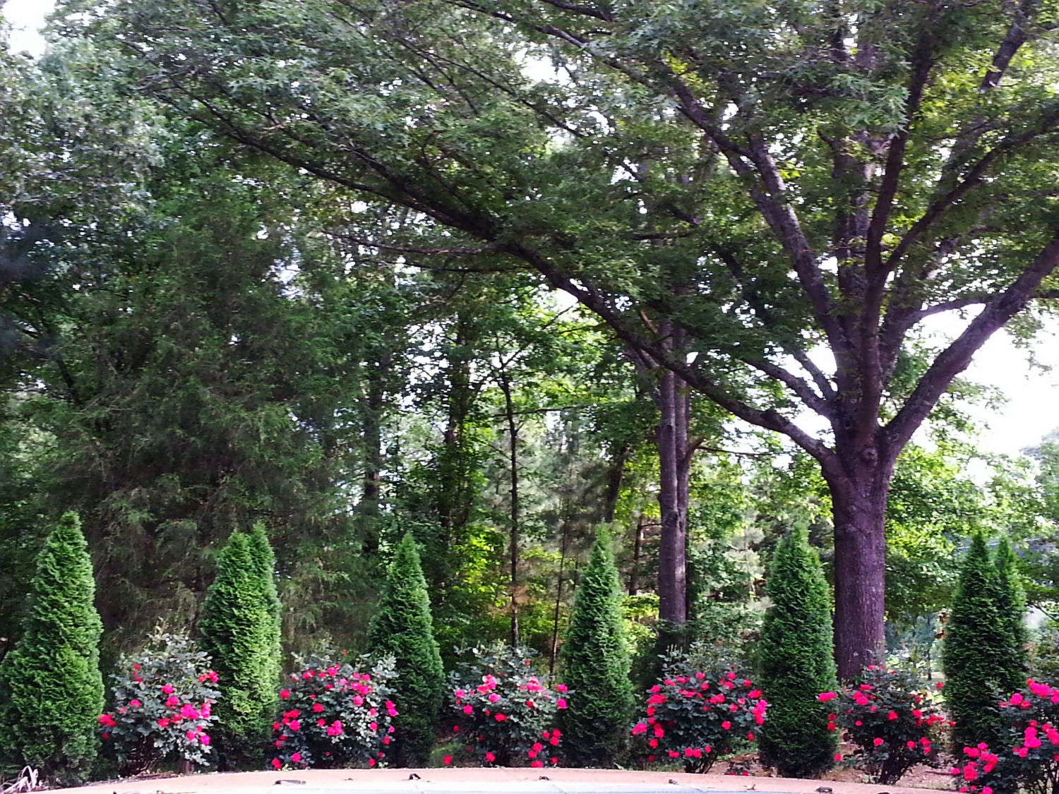 Arborvitaes and Knockout Roses_edited