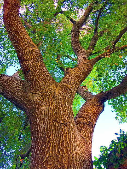 oak1 fixed.jpg