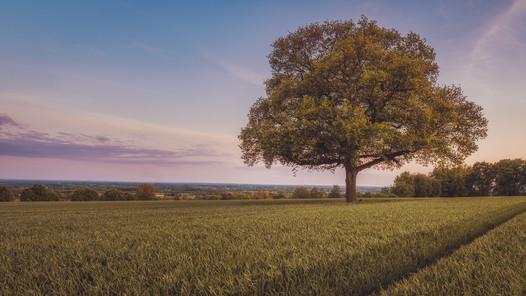 Die alte Eiche im Feld