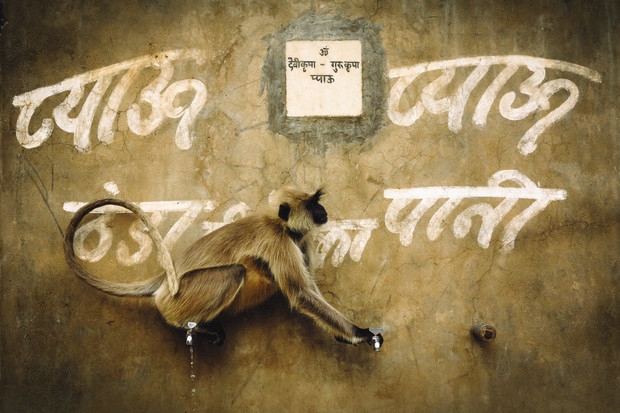 Black Faced Langur at Public Water Taps. Outside Pushkar, Rajasthan, India 2014
