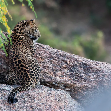 Grow up fast and die young: The accelerated life of a JAWAI Leopard