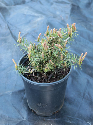 Pinus sylvestris 'Little Broll'